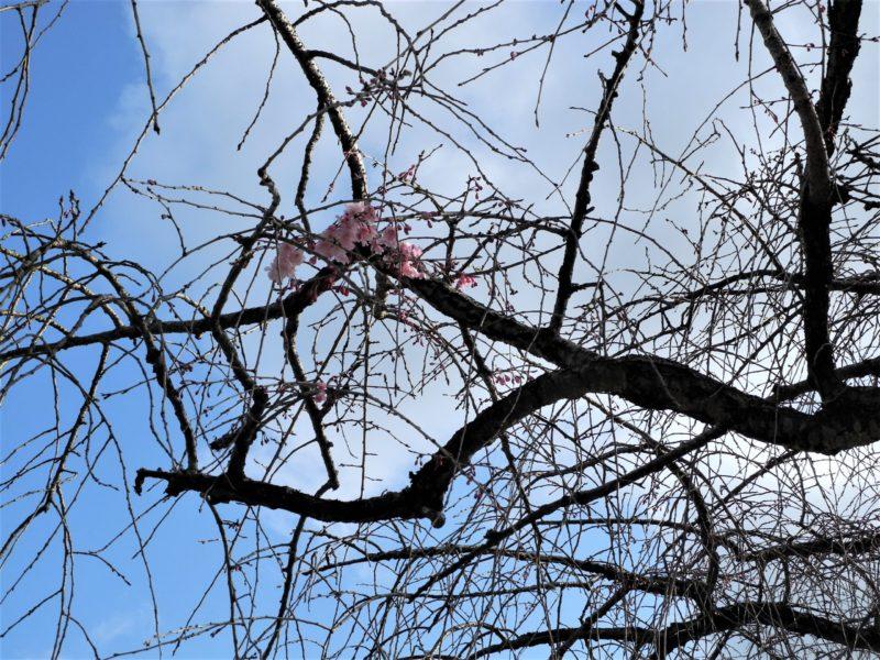 枝垂れ桜開花