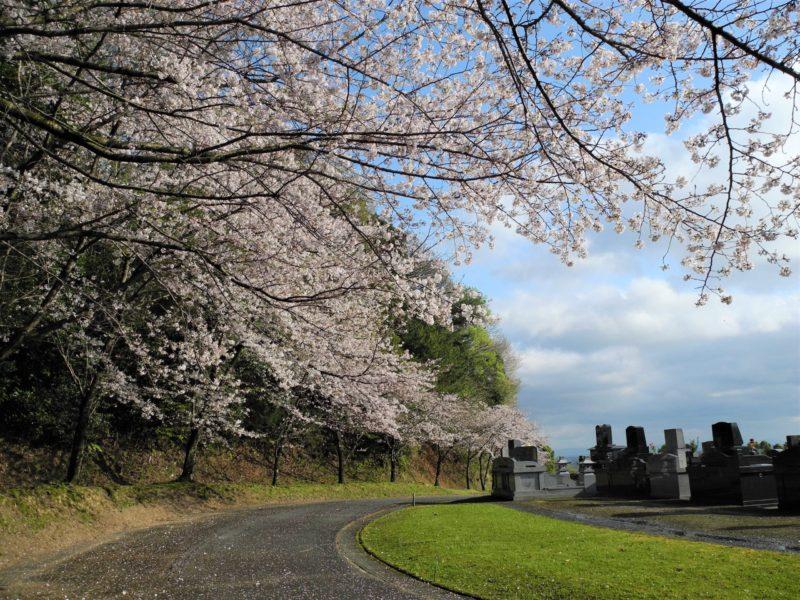 自由墓裏桜