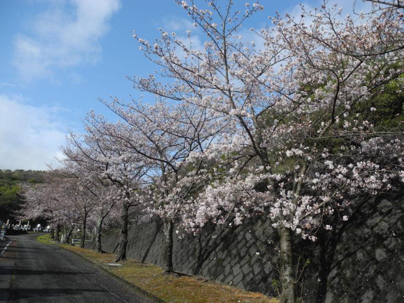 鐘楼堂入口桜