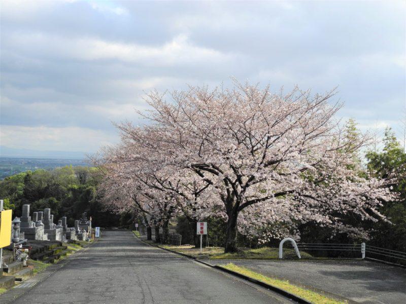 第4駐車場桜
