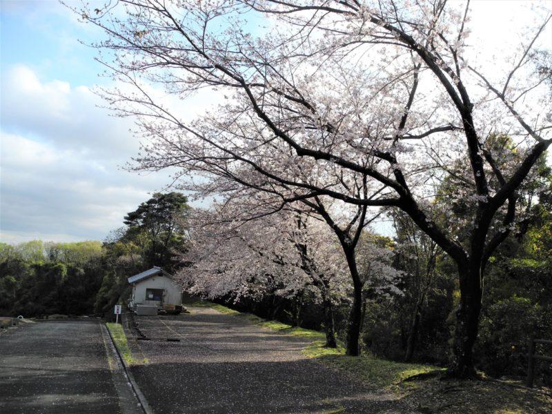 第5駐車場桜